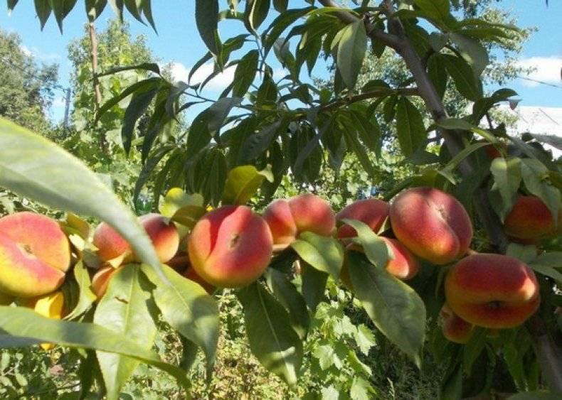 Описание инжирного персика: лучшие сорта, как его выращивать, как посадить