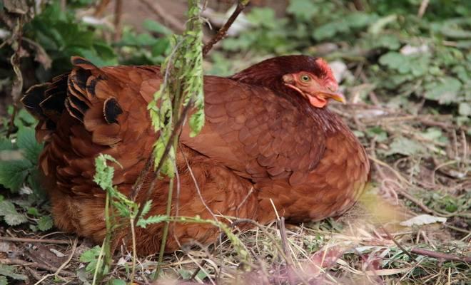 Описание кубанской красной породы кур