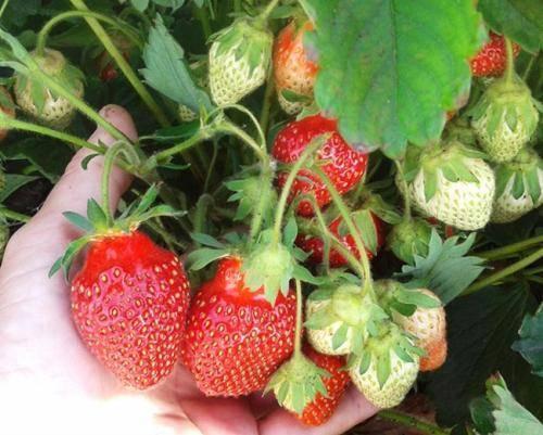 Садовая земляника царица: ягода, которая правит бал на грядках