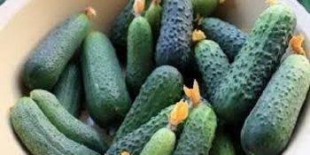 Сорта и гибриды огурцов для урала: с описанием, фото, характеристиками и агротехникой