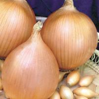 """Лук """"центурион"""": описание сорта, особенности выращивания и отзывы"""