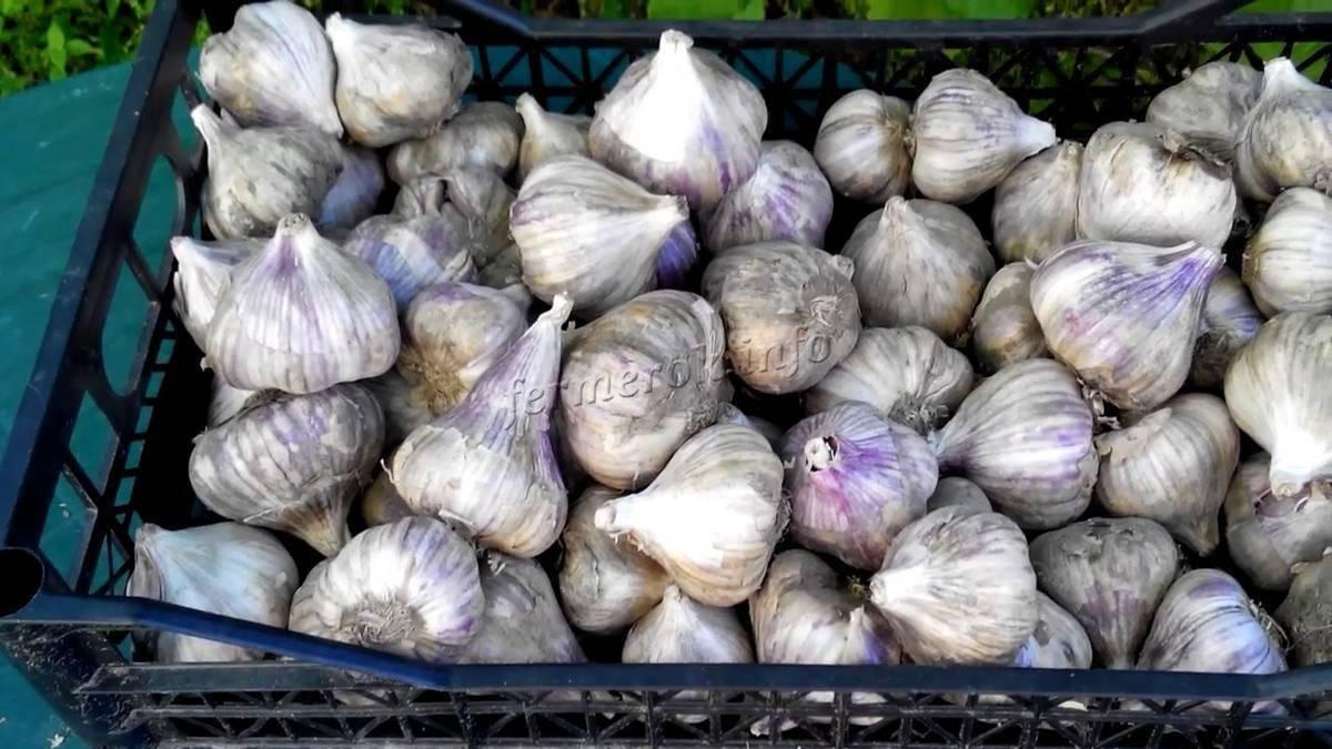 Какой чеснок сажать под зиму. озимый чеснок – выбираем сорта для посадки на зиму
