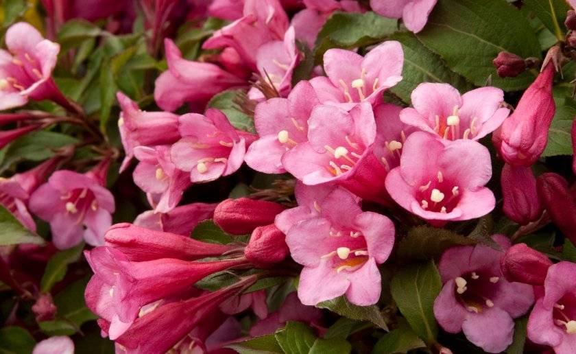 Вейгела цветущая санни принцесс посадка и уход