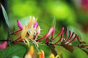 Жимолость съедобная черничка: характеристика сорта и особенности выращивания