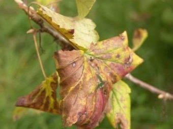 Самые эффективные меры борьбы с почковым клещом на смородине весной