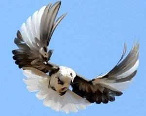Голуби: породы, их описание и фото. виды домашних голубей