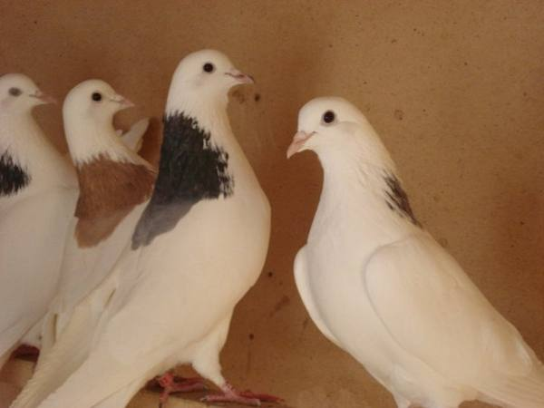 Лесные и дикие голуби – обзор видов и правила приручения