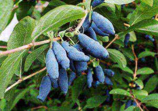 Характеристика и особенности выращивания жимолости сорта фиалка