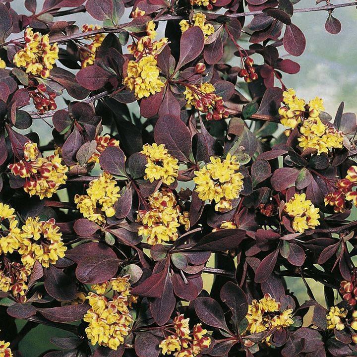 Как посадить и ухаживать за барбарисом атропурпуреа (atropurpurea) в открытом грунте