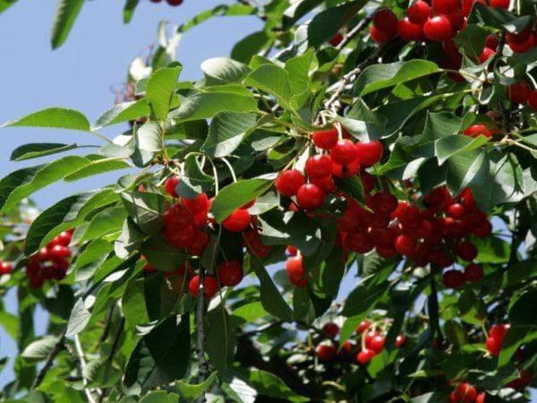 Как вырастить вишню брусницына