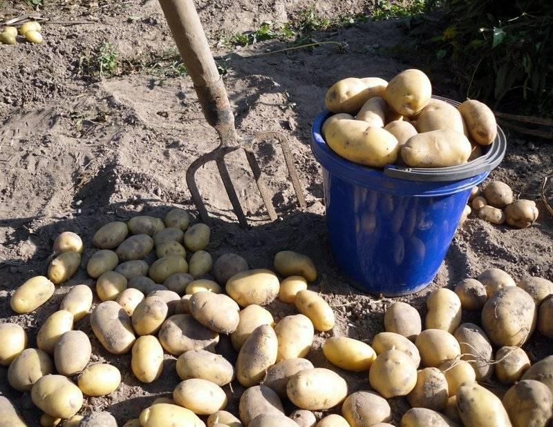 Чем обработать землю после фитофторы помидор осенью?