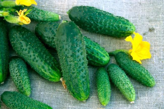Лучшие сорта огурцов для выращивания в теплицах сибири