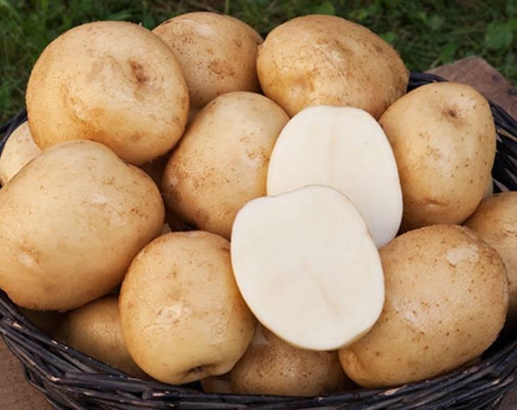 Сорт картофеля «сынок»: характеристика, описание, урожайность, отзывы и фото