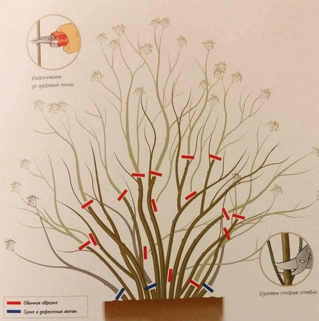 Лапчатка кустарниковая мэрион ред робин описание
