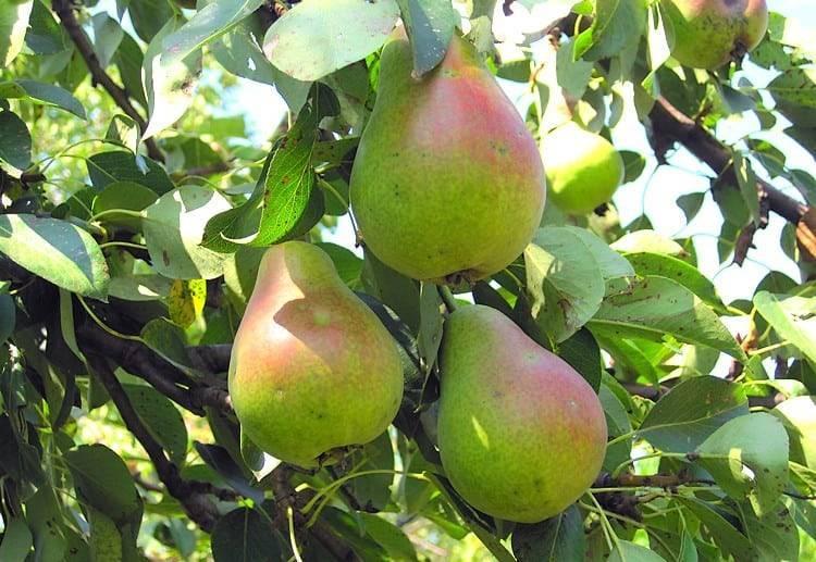 Груша аллегро: характеристика сорта, выращивание и уход