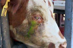 Глаза коровы: какого цвета, почему мутные, слезятся, красные и гноятся