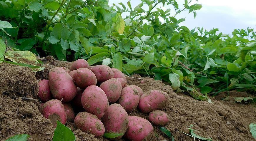 Высокоурожайный, вкусный картофель ильинский