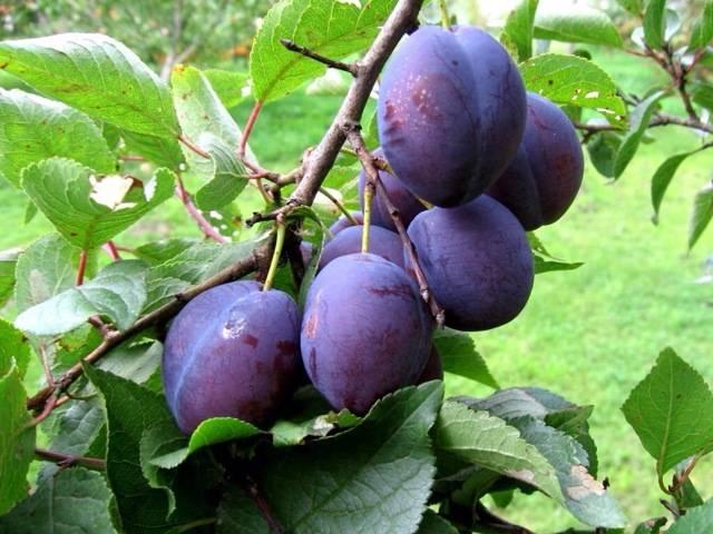 Особенности выращивания сливы маньчжурская красавица и ухода за ней