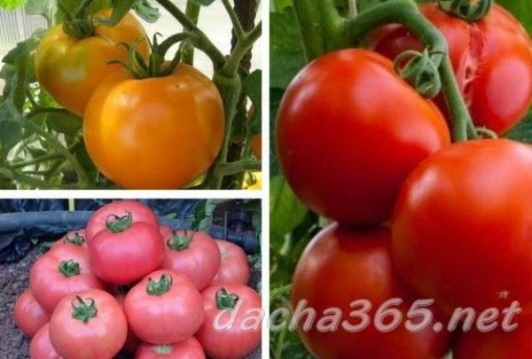 Томат ирина характеристика и описание сорта
