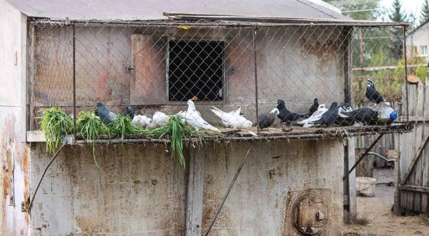 Чем питаются голуби и как кормить птиц в домашнем хозяйстве?