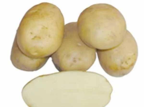 Картофель американка — описание сорта, фото, отзывы, посадка и уход