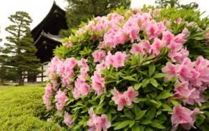 Карликовые сорта рододендрона и правила ухода за ними