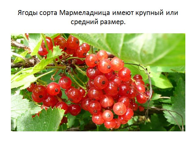 Смородина красная ранняя — особенности и характеристики сорта