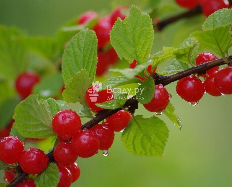 Особенности выращивания войлочной вишни натали