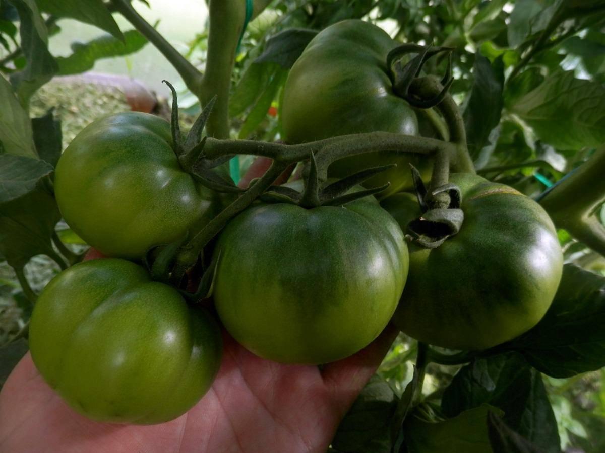 Описание томата клубничное дерево от фирмы сибирский сад