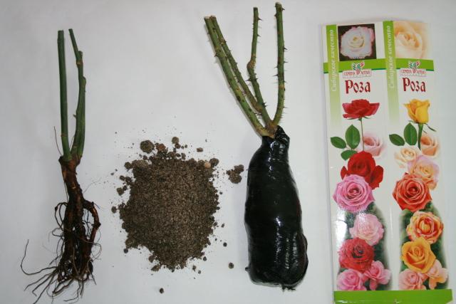 Роза английская абрахам дерби: секреты правильного роста и обильного цветения