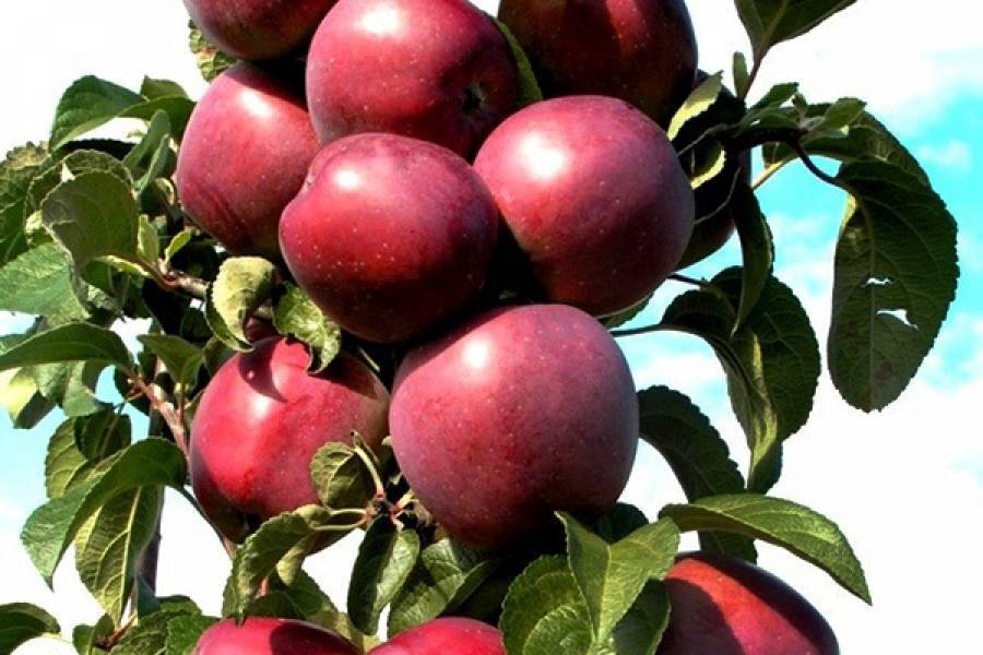 Колоновидная яблоня президент: вкусное украшение сада