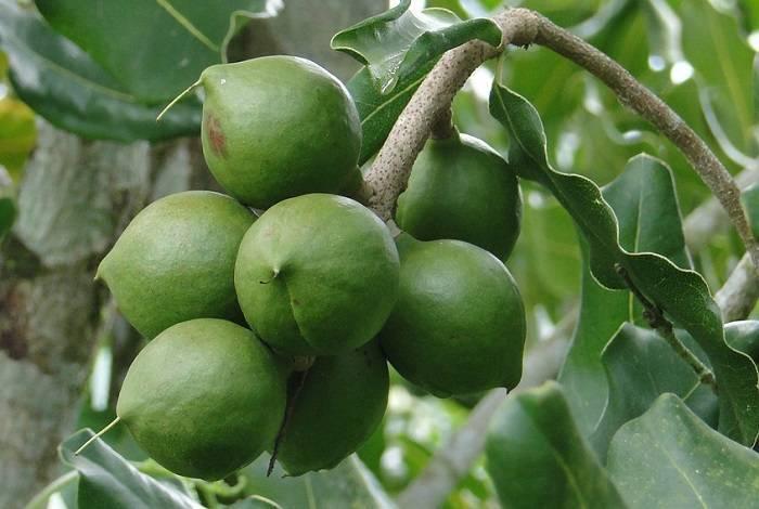 Макадамия – польза и вред самого дорогого ореха в мире