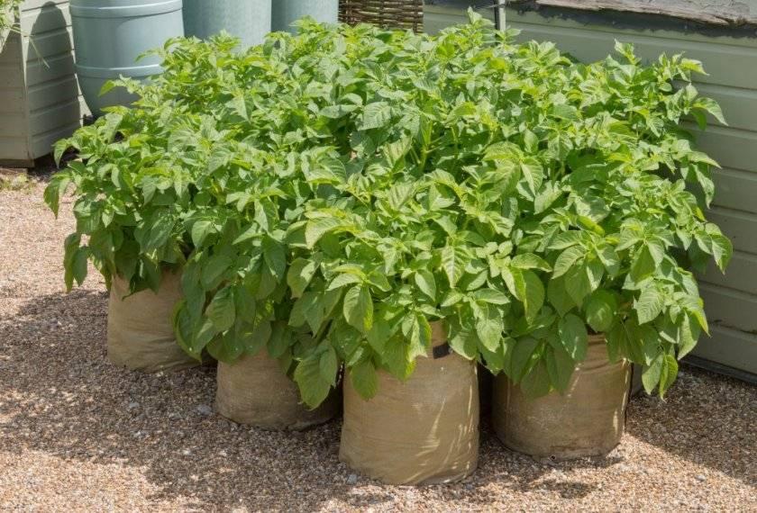 Как посадить и вырастить картофель в мешках