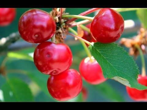 Сорт вишни малышка — посадка и уход