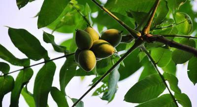 Маньчжурский орех: лечебные свойства, применение и противопоказания