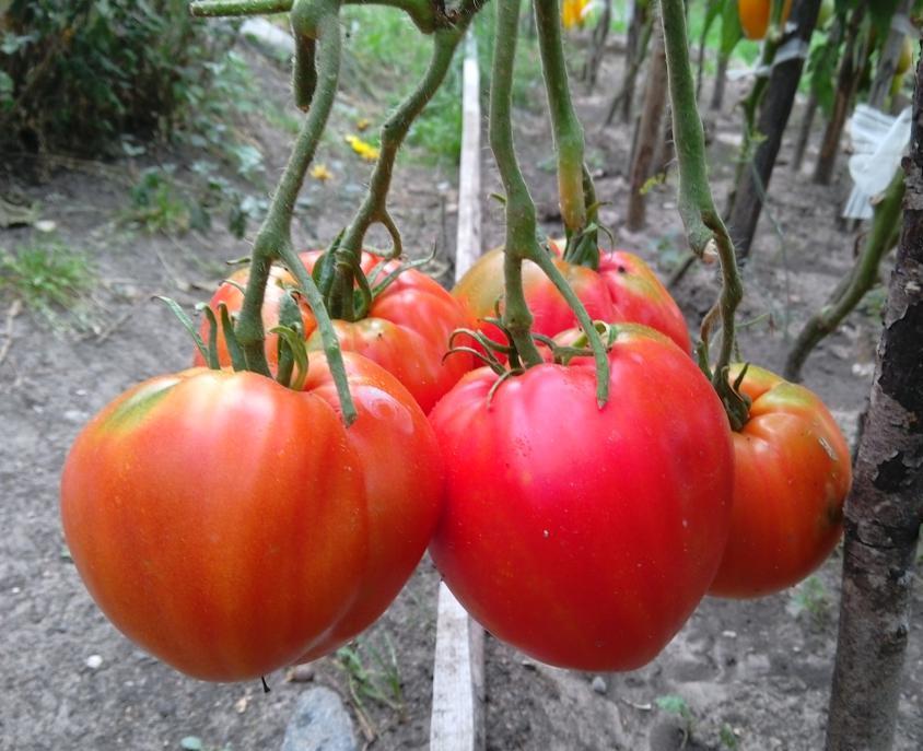 Собираем 5-6 кг помидоров с куста, выращивая томат «сахарный гигант»