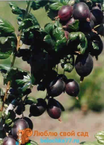 Крыжовник нежный: характеристика, особенности выращивания и размножения