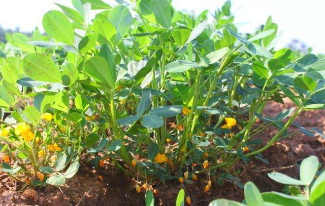 Богатый урожай вкусного и полезного арахиса на даче – это возможно! как вырастить земляной орех в средней полосе?