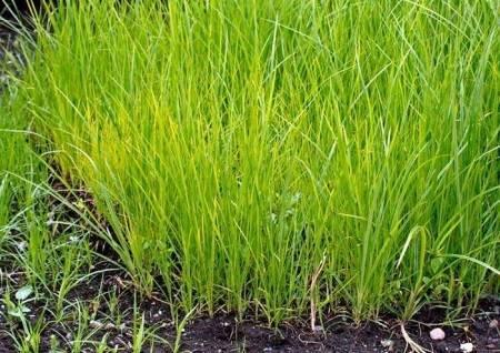 Растение чуфа – польза и вред земляного миндаля