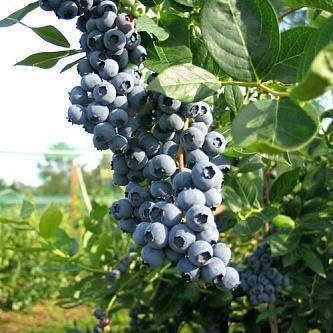 Голубика сорта река: описание и особенности выращивания
