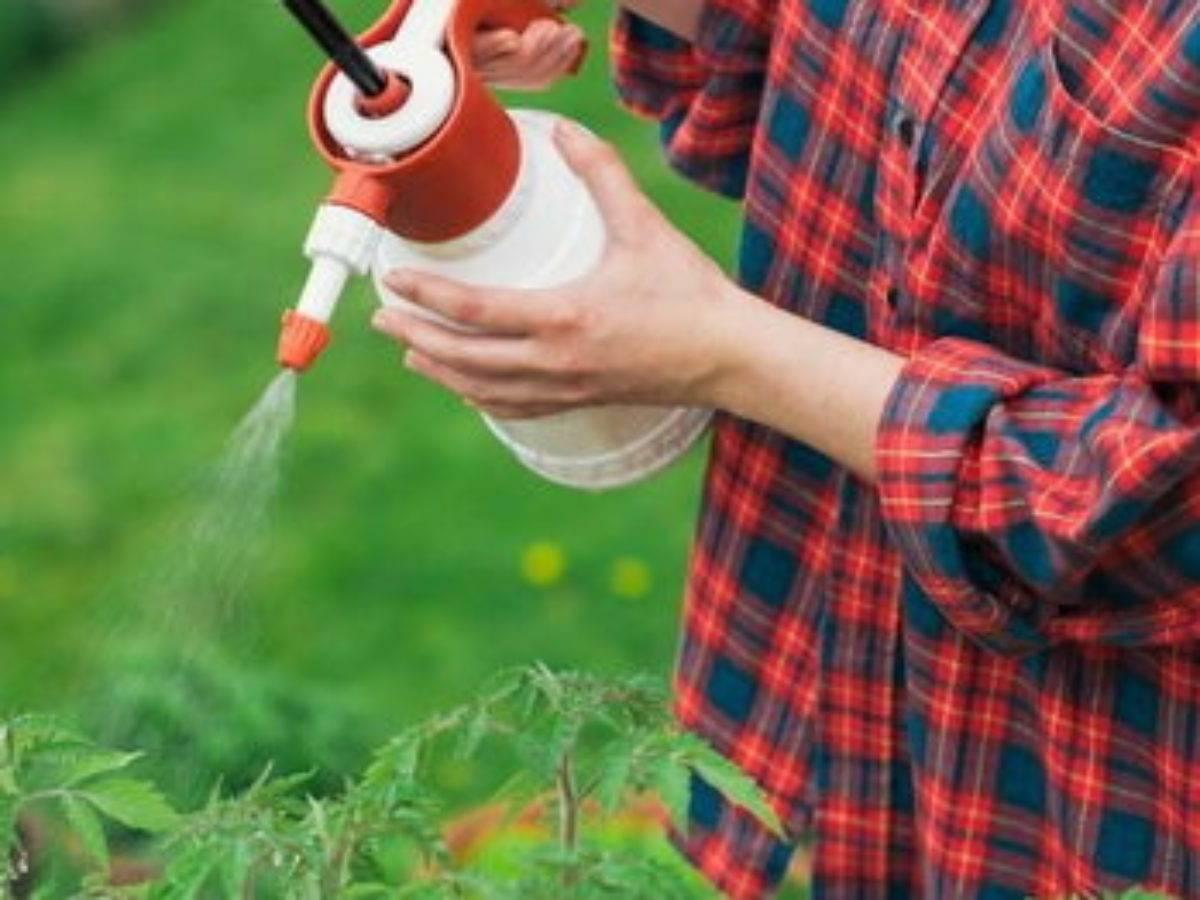Опрыскивание перекисью водорода помидоров