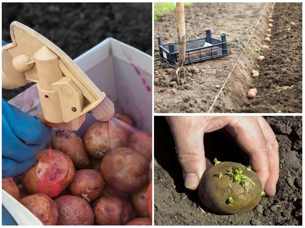 Обработка картофеля против фитофторы – лучшие средства