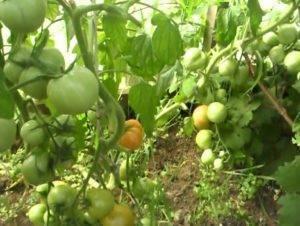 Томат анюта: характеристика и описание сорта, урожайность