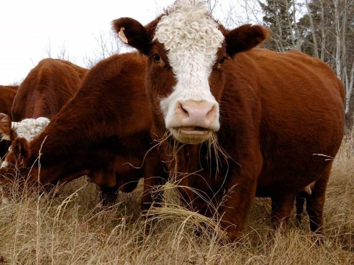 Беременность у коровы