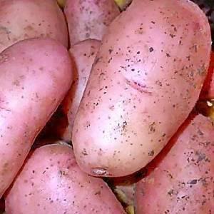 Характеристика и описание картофеля «рябинушка»