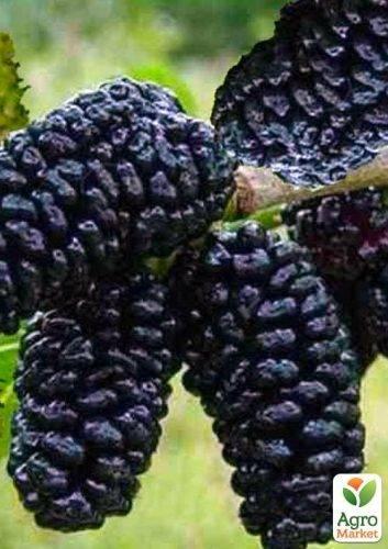Выращивание шелковицы: способы выращивания, уход за культурой и распространённые сорта