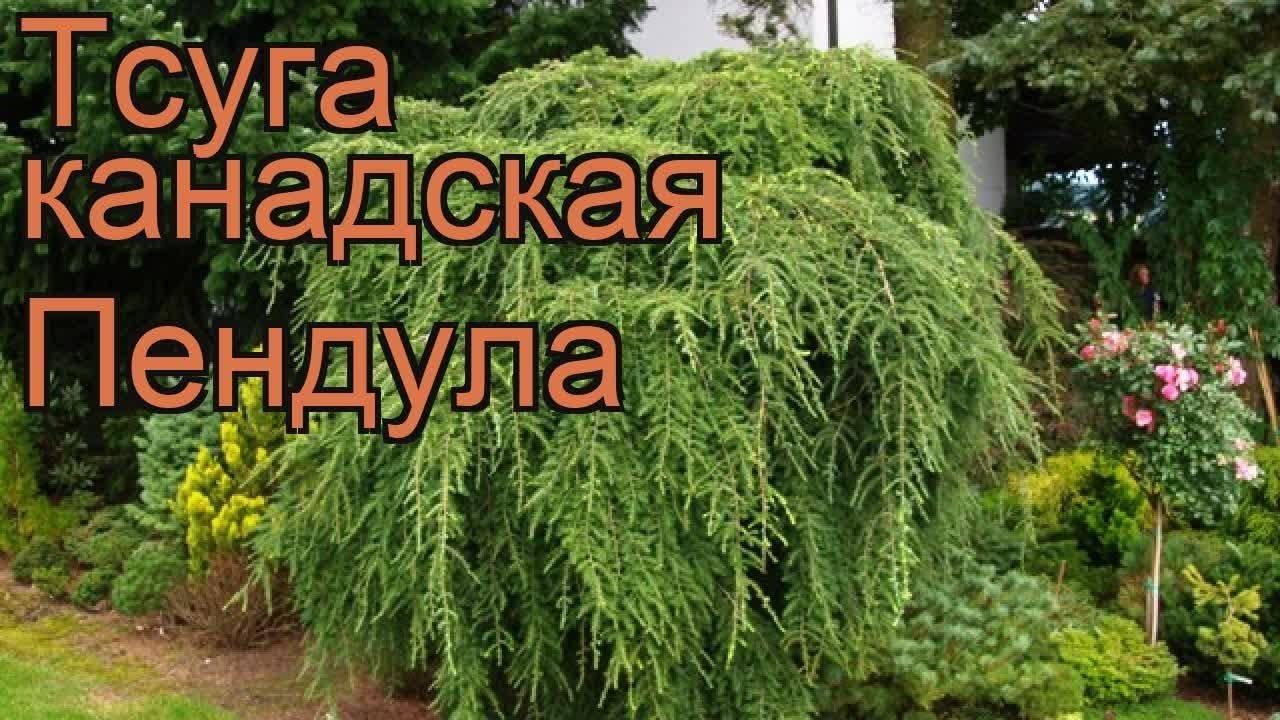 Tsuga canadensis (тсуга канадская): описание и уход