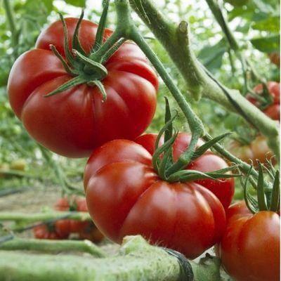Томат марманде: характеристика и описание сорта, фото, отзывы, урожайность