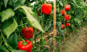 Перец сладкий гордость россии. описание, негативные и позитивные качества, правила выращивания