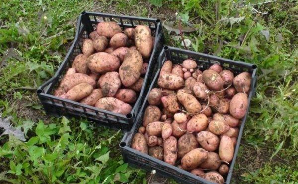 Картофель ильинский: описание и характеристика, отзывы